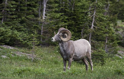 Majestic Big Horn Ram Stock Image