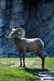 Majestic Big Horn Sheep Stock Photos