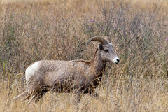 Majestic bighorn ewe. Royalty Free Stock Photo