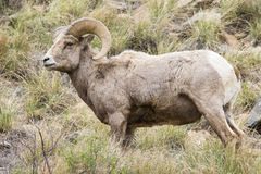 Majestic bighorn ram. Standing broadside Royalty Free Stock Photo