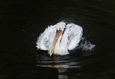 Majestic bird Dalmatian Pelican white matter floating on the dar. K lake spraying water drops with feathers in the Park royalty free stock images