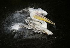 Majestic bird Pelican white matter floating on the dark lake spraying water drops with feathers stock image