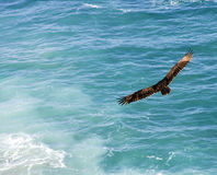 Majestic bird soaring Royalty Free Stock Photos