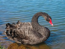 A black swan is floating on the lake. The majestic black swan beautifully floats along the clean lakes in search of food royalty free stock image