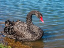 A black swan is floating on the lake. The majestic black swan beautifully floats along the clean lakes in search of food Royalty Free Stock Photo