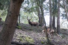A majestic brown deer in the forest stock photography