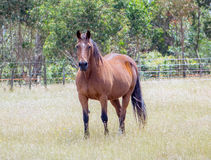Majestic Brown horse in paddock Royalty Free Stock Photography