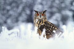 Majestic Bubo bubo Royalty Free Stock Photography
