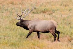 Majestic Bull Elk in Yellowstone Park Stock Photo