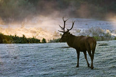Majestic Bull on the meadow royalty free stock photography
