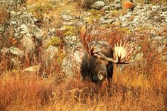 Majestic Bull Moose - Eating Willow Royalty Free Stock Images