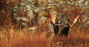 Majestic Bull Moose - Front View - Eating Willow Royalty Free Stock Image