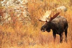 Majestic Bull Moose - Profile View Royalty Free Stock Photo