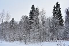 Majestic and calm standing in the snow trees amaze with their proud and unusual appearance. Dark trunks and branches, glancing through the heavy snow cover stock photo