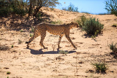 Majestic Cheetah. A cheetah walking in the desert sand, before making a kill. This cheetah was lying in the shade and smelled a herd of springbok and began royalty free stock photo