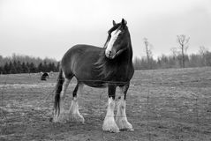 Majestic Clydesdale horse. Stands in a foggy field, wind blows through mane. Black and white royalty free stock photography