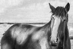 Majestic Clydesdale horse close up. Black & White. Details stock photos