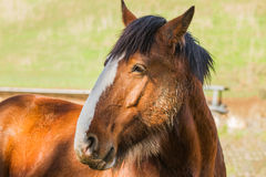 Majestic Clydesdale horse close up. Royalty Free Stock Photos