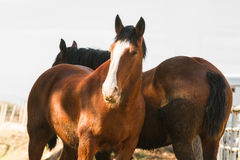 Majestic Clydesdale horses close up. Royalty Free Stock Images