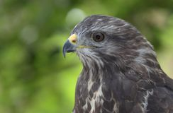 majestic common buzzard Stock Photography