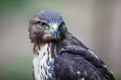 Majestic Common Buzzard Royalty Free Stock Images