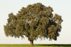 Cork tree royalty free stock photo