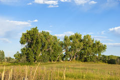 Majestic Cottonwood Trees in Late Afternoon Royalty Free Stock Images