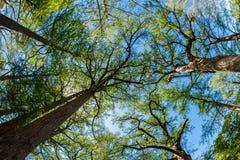 Majestic Cypress Trees