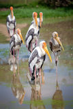 Majestic Dalmatian pelican Stock Photo