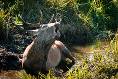 Majestic Deer royalty free stock images
