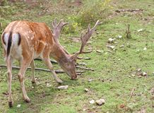 Majestic deer with large horns in the mountain Royalty Free Stock Photography