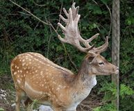 Majestic deer with large horns in the mountain royalty free stock photo