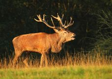 Majestic deer in rut Royalty Free Stock Images