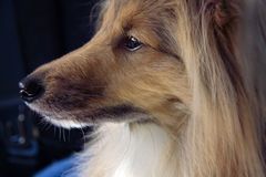 Majestic dog profile Royalty Free Stock Images