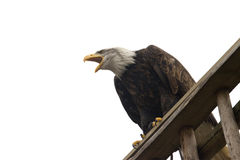 Majestic eagle. Photo of an isolated majestic eagle Stock Photography