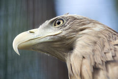 Majestic  Eagle. Head of young brown eagle Stock Photo