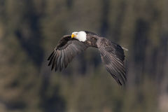 Majestic  eagle. A bald eagle soars low up in the sky Royalty Free Stock Images