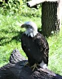 Majestic eagle. Bald eagle at the zoo Stock Photography