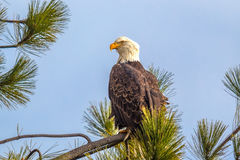 Majestic eagle on branch. A majestic American Bald Eagle is perched on a tree branch in Coeur d`Alene, Idaho Royalty Free Stock Photos