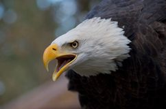 Majestic eagle calling with open beak and intense expression in its eyes. Details of the white feathers of its head are visible royalty free stock images