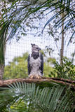 The majestic eagle harpy  bird in Brazil. Foz do Iguacu,  Brazil - july 9, 2016: The majestic eagle harpy  bird in Brazil with green nature bokeh as background Stock Image