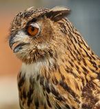 Majestic Eagle owl looking left. Wise majestic eagle owl looking to the left royalty free stock images