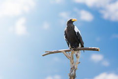 A majestic eagle sitting on a perch. Huge eagle sitting on a perch beside blue sky Royalty Free Stock Photo
