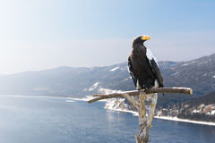 A majestic eagle sitting on a perch. Huge eagle sitting on a perch beside snow mountains and river Stock Images