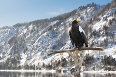 A majestic eagle sitting on a perch. Huge eagle sitting on a perch beside snow mountains and river Royalty Free Stock Photo