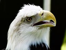Majestic Eagle. Eagle taken at Indian Festival Royalty Free Stock Photos