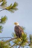 Majestic eagle on tree. Royalty Free Stock Photos