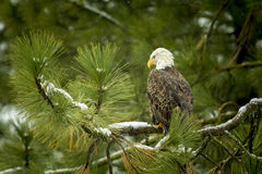 Majestic eagle in tree. Stock Photography