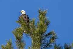 Majestic eagle on tree top. A bald eagle is perched at the top of a pine tree near Coeur d`Alene, Idaho Royalty Free Stock Photo