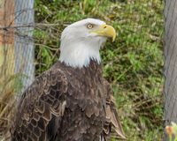 A majestic eagle watching people stock photography